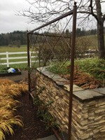 Pyracantha trellis screen after initial planting
